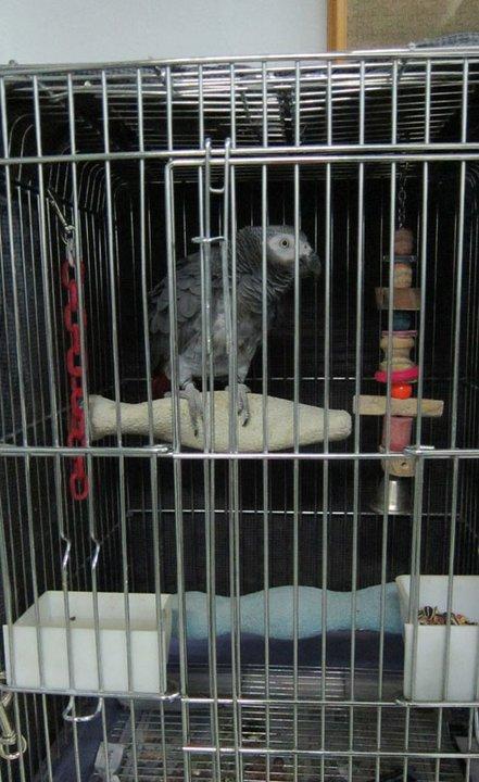 因要做訪問,鸚鵡這晚被關在籠裡,牠卻不停地替我們加背景聲音